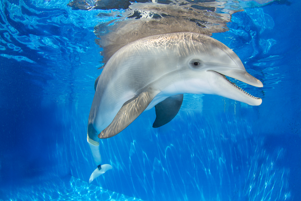 Winter the dolphin/Photo courtesy of the Clearwater Marine Aquarium